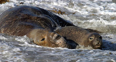 Elephant seals mating in shallow water