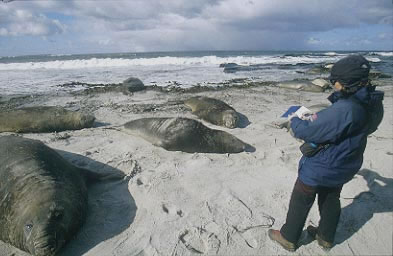 Studying elephant seals